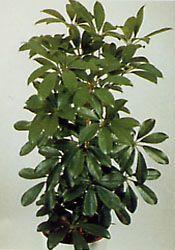 Комнатные растения раст-31