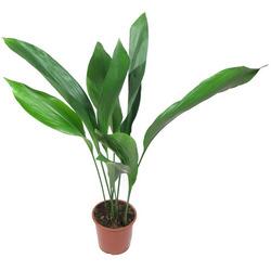 Комнатные растения раст-38