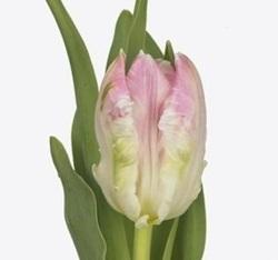 Тюльпаны Т-18