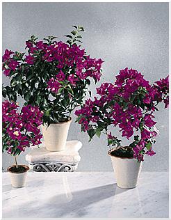 Комнатные растения раст-113