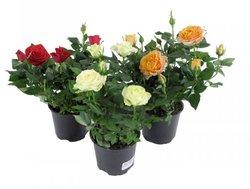 Комнатные растения раст-147