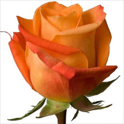 Розы 17
