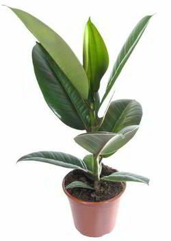 Комнатные растения раст-19