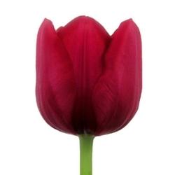 Тюльпаны Т-5