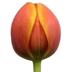 Тюльпаны Т-3