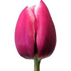 Тюльпаны Т-2