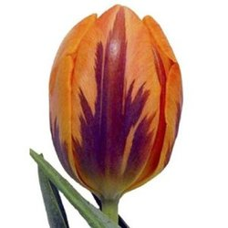 Тюльпаны Т-1