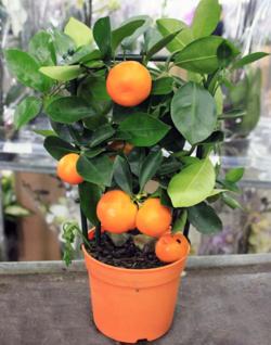 Комнатные растения раст-80