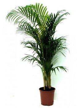 Комнатные растения раст-61