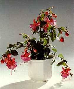 Комнатные растения раст-49