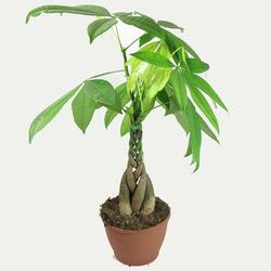 Комнатные растения раст-150