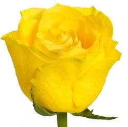 Розы 27