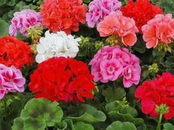 Комнатные растения раст-85