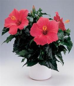 Комнатные растения раст-105