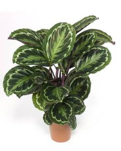 Комнатные растения раст-68