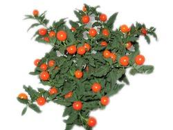 Комнатные растения раст-79