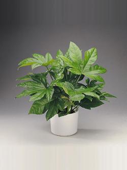 Комнатные растения раст-51