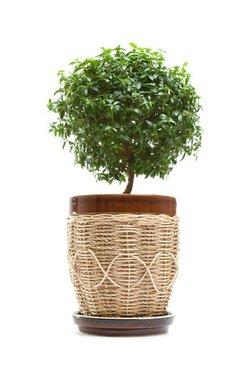Комнатные растения раст-95