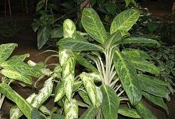 Комнатные растения раст-39