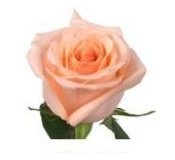 Розы 60