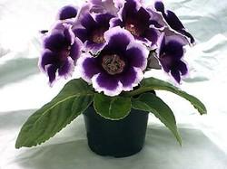 Комнатные растения раст-109