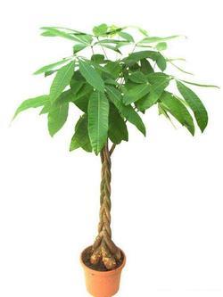 Комнатные растения раст-151