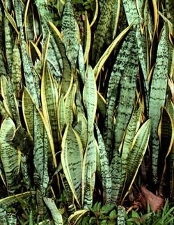 Комнатные растения раст-146