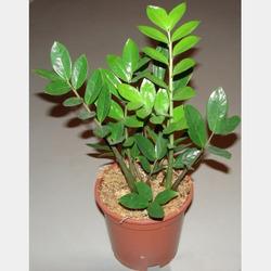 Комнатные растения раст-36