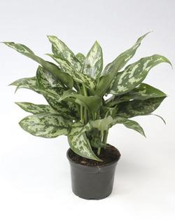 Комнатные растения раст-124