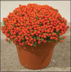 Комнатные растения раст-107