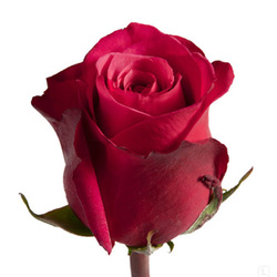 Розы 13