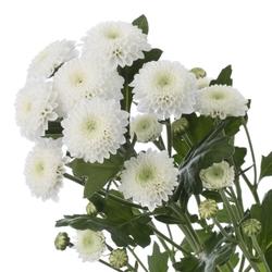 Хризантемы Хр-19
