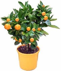 Комнатные растения раст-81