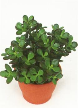 Комнатные растения раст-86
