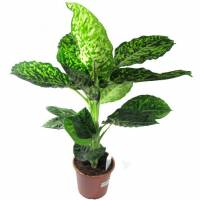 Комнатные растения раст-133