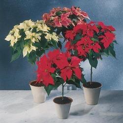 Комнатные растения раст-33