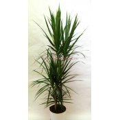 Комнатные растения раст-62