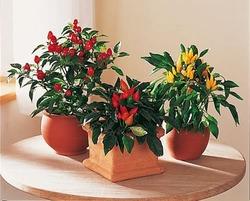 Комнатные растения раст-47