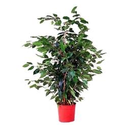Комнатные растения раст-26
