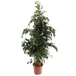 Комнатные растения раст-18