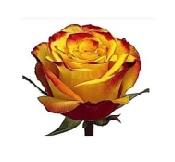 Розы 56