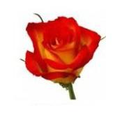 Розы 58