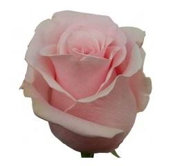 Розы 57