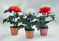Комнатные растения раст-44
