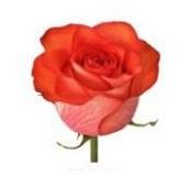 Розы 10