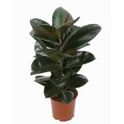 Комнатные растения раст-20