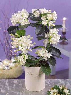 Комнатные растения раст-129
