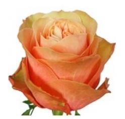 Розы 52