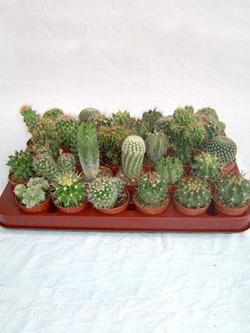 Комнатные растения раст-127