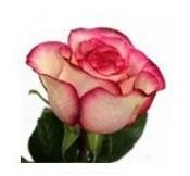 Розы 53